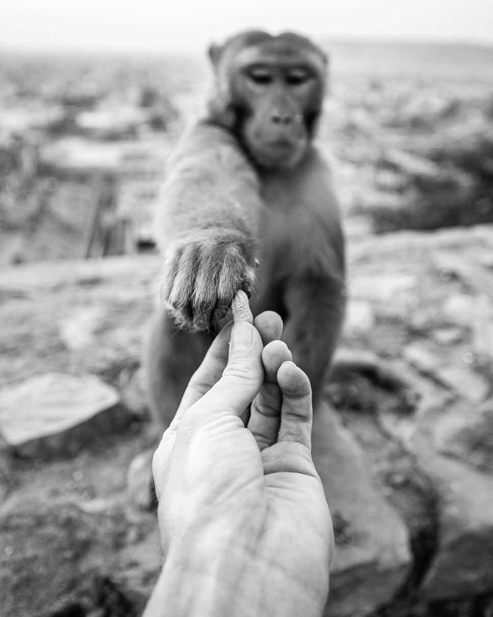 Feeding a monkey a peanut at the monkey temple in Jaipur, India