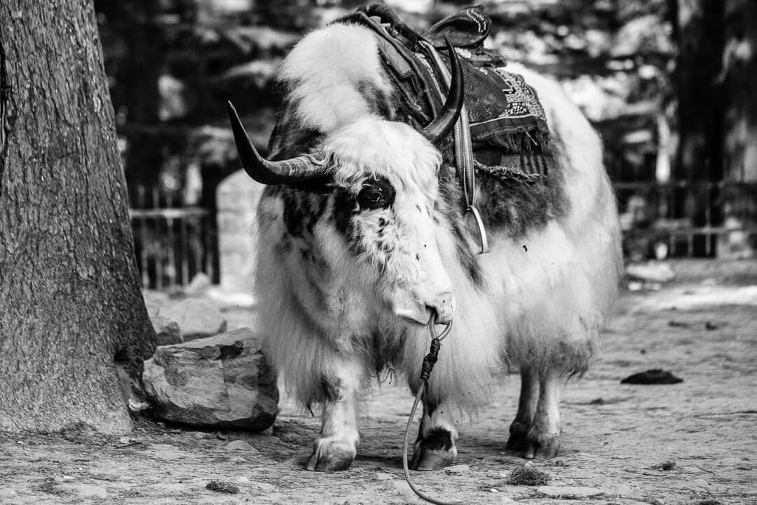 Black and white photo of a yak tied to a tree in Manali, India