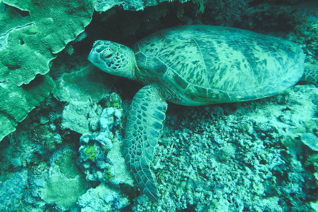 A green turtle rests near a reef. Dive sites in Borneo, Malaysia