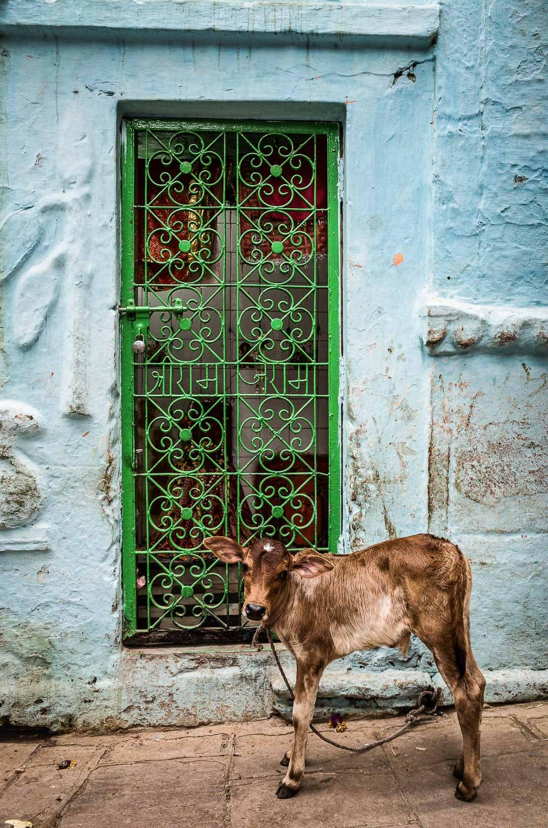 A baby calf in Varanasi India near an alley door