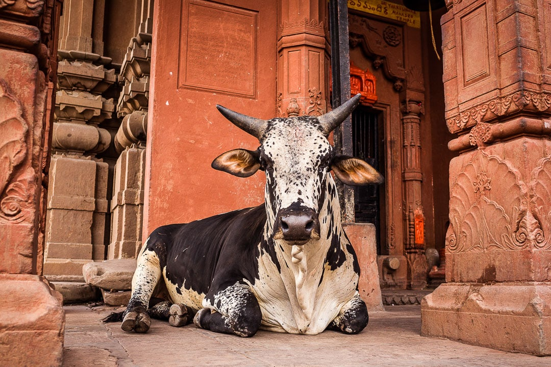A bull sits in front of a red temple near the ghats of Varanasi, India