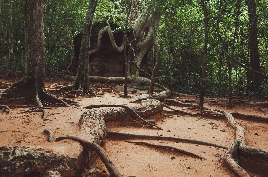 Tree roots grow over a trail to Kbal Spean in Cambodia