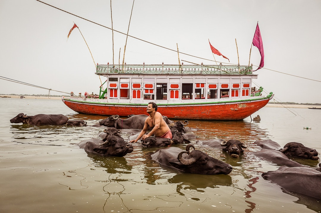 A man washes his buffaloes near a boat in the Ganges River in India