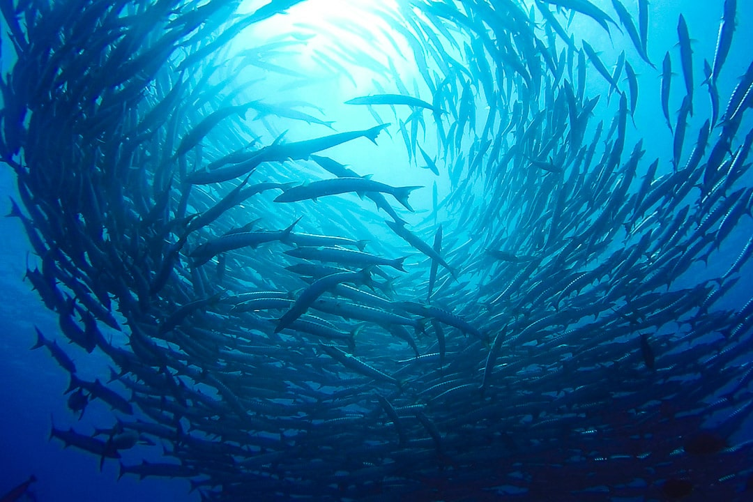 A school of barracuda swirls off Sipadan Island in Borneo, Malaysia
