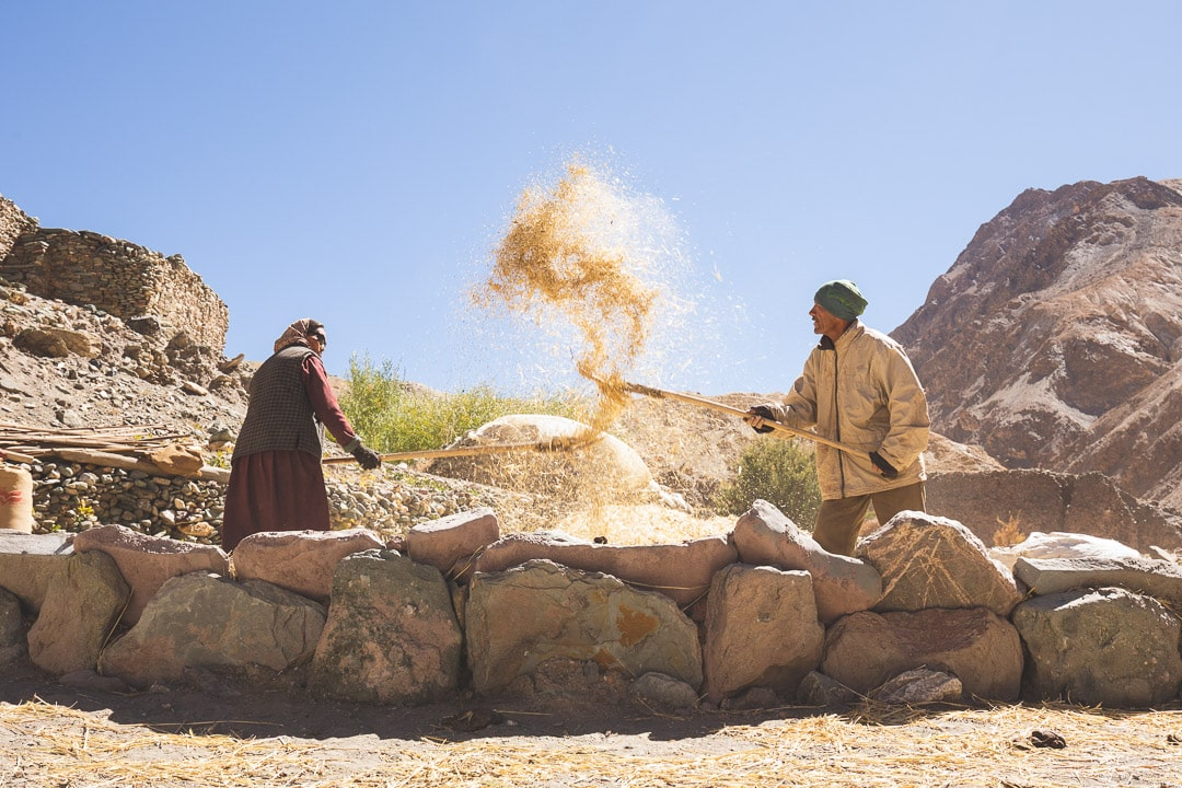 Two Ladakhi farmers toss barley into the air to dry it out in northern India