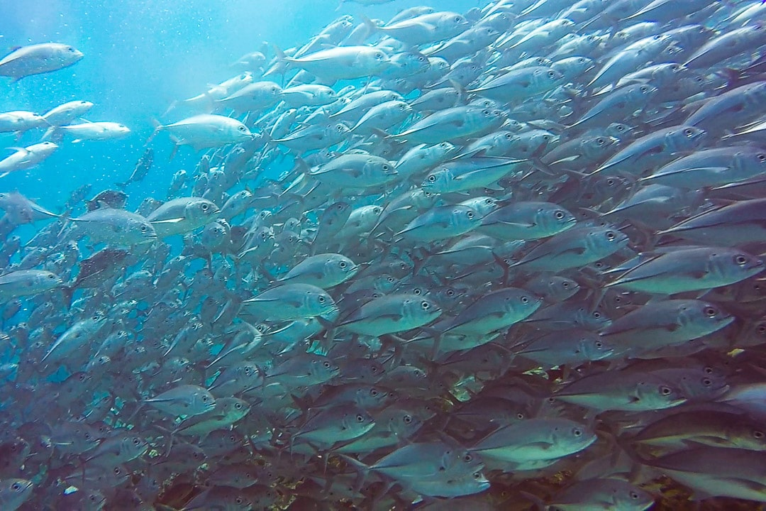 A giant school of jack fish swims by off Sipadan Island in Sabah, Borneo