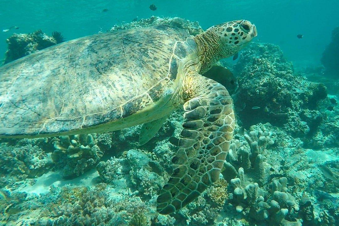 A green turtle swims near a reef on Sipadan Island in Borneo