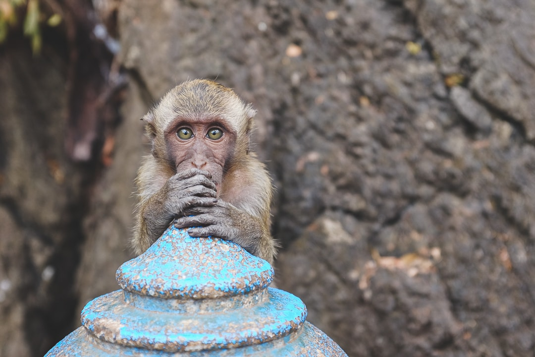 Monkey stares at camera at Wat Tham Suea