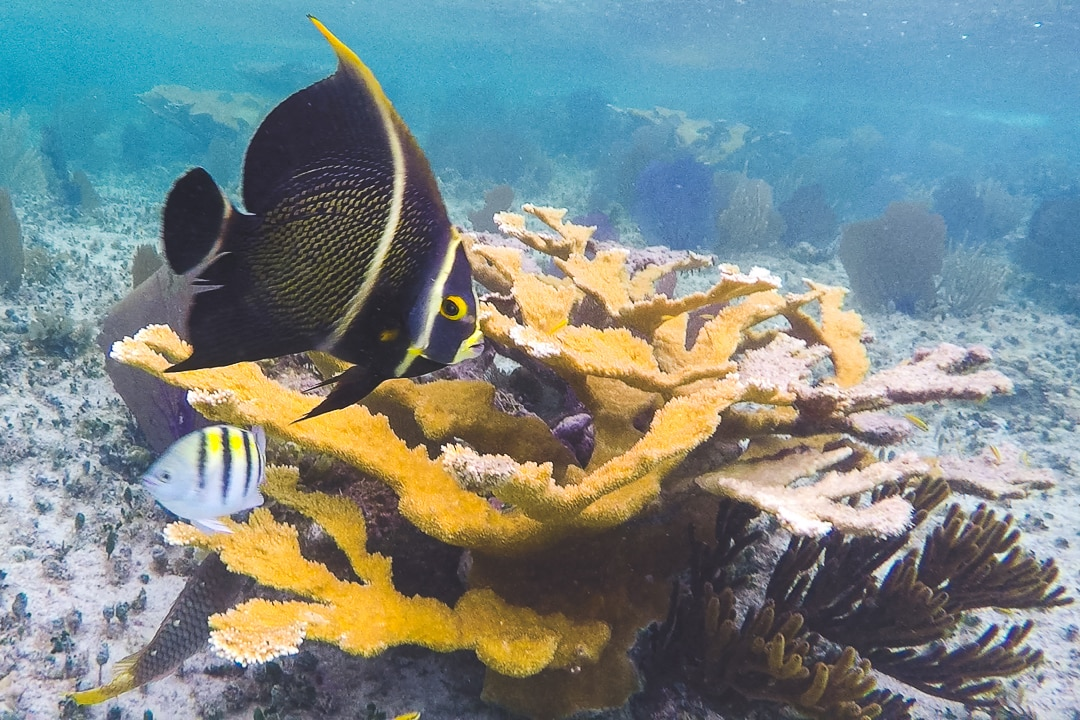Reef fish swim by hard coral
