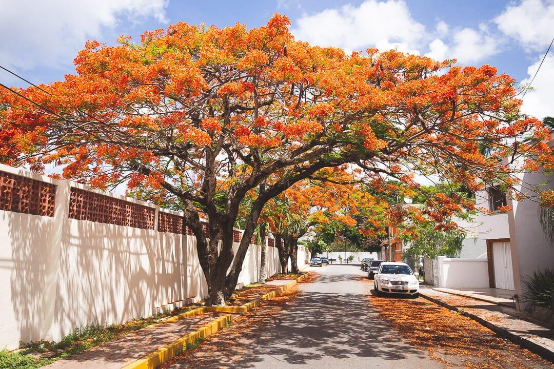Bright red-orange royal poinciana trees