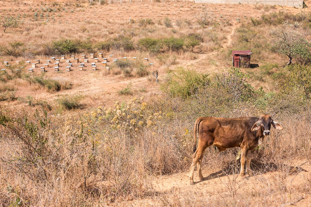A cow near a honey farm in San Francisco de Lachigolo